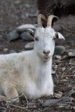 Cabra branca Símbolo do ano novo no calendário oriental Imagens de Stock Royalty Free