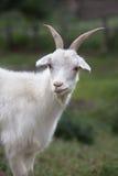 Cabra branca Símbolo do ano novo no calendário oriental Fotos de Stock