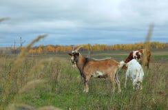 Cabra, cabra, e vaca que pasta no campo do outono Imagens de Stock Royalty Free