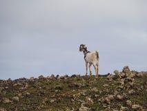 Cabra canaria de la isla en una colina de Fuerteventura Fotos de archivo