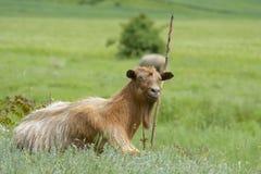 Cabra, capra, retrato del perfil en naturaleza Foto de archivo libre de regalías