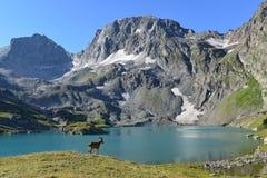 A cabra caucasiano ocidental Fotografia de Stock Royalty Free