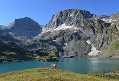 A cabra caucasiano ocidental Imagens de Stock Royalty Free