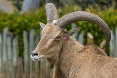 Cabra caucasiano ocidental do tur Fotografia de Stock Royalty Free