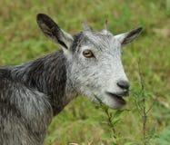 Cabra cinzenta Imagem de Stock Royalty Free