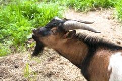 Cabra com barba preta Foto de Stock