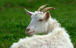 Cabra com chifres Foto de Stock Royalty Free