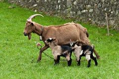 Cabra com dois bebês Foto de Stock