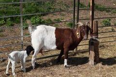 Cabra com uma cabra pequena, mamando o leite bebendo da cabra imagens de stock royalty free