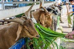 A cabra come imagens de stock