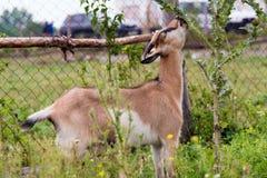 A cabra come altamente fotos de stock