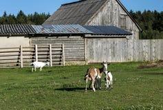 47/5000 cabra con el niño en un prado delante de una pocilga de madera Foto de archivo