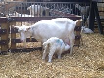Cabra con el niño en una granja en un fondo del heno Imágenes de archivo libres de regalías
