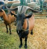 Cabra con los cuernos grandes Fotos de archivo