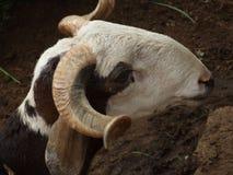 Cabra con los cuernos torcidos Imagenes de archivo