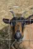 Cabra con los cuernos a través de la cerca Fotografía de archivo
