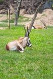 Cabra da cabra-montesa no jardim zoológico Imagens de Stock