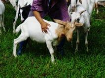 Cabra da criança 6 meses Fotos de Stock Royalty Free