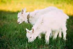 A cabra da criança pasta na grama verde do verão em Sunny Day Comer da cabra Imagens de Stock
