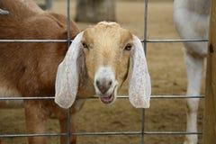 Cabra da exploração agrícola com cabeça através da cerca Fotografia de Stock Royalty Free