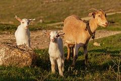 Cabra da mãe e sua criança Foto de Stock