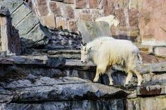 A cabra da neve é um Oreamnos latino do mamífero fender-hoofed americano no jardim zoológico de Moscou Rússia fotografia de stock