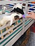 Cabra de alimentação do bebê Fotos de Stock Royalty Free