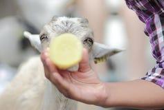 Cabra de alimentación del bebé de la mano Imagen de archivo