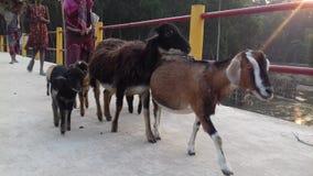 Cabra de Bangladesh foto de archivo libre de regalías