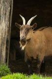 Cabra de Billy imagem de stock