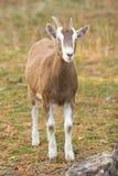 Cabra de Billy Foto de Stock
