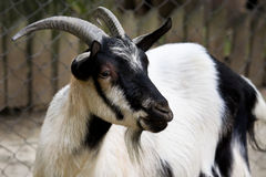 Cabra de Billy Fotografia de Stock