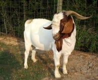 Cabra de Billy Foto de Stock Royalty Free