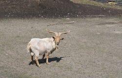 Cabra de billy curiosa con los cuernos curvados largos Imagenes de archivo