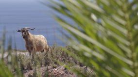 Cabra de billy salvaje en una cerca del jardín almacen de video