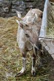 Cabra de Brown Fotografía de archivo libre de regalías