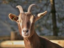 Cabra de Brown Imagens de Stock Royalty Free