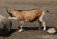 Cabra de Brown de Safari Park Fotos de archivo