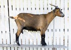 Cabra de Brown en una cerca de madera blanca, mirando adelante Fotos de archivo libres de regalías