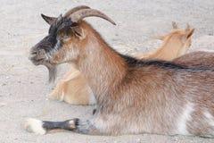 Cabra de Brown en una granja Fotografía de archivo libre de regalías