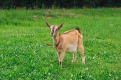 Cabra de Brown no gramado Foto de Stock Royalty Free