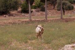 Cabra de Brown que pasta en el campo Imagen de archivo libre de regalías