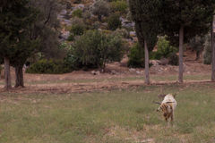 Cabra de Brown que pasta en el campo Imagenes de archivo