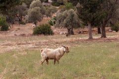 Cabra de Brown que pasta en el campo Foto de archivo libre de regalías
