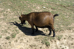 Cabra de Cabra Gravida_Pregnant Fotos de Stock Royalty Free