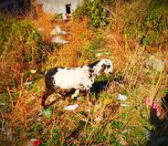 Cabra de Cachemira Saanen fotos de archivo