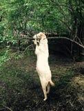 Cabra de Chin-para arriba Fotografía de archivo libre de regalías