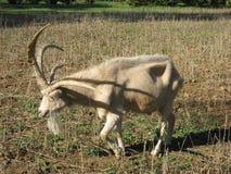 Cabra de cuernos cuatro Fotos de archivo