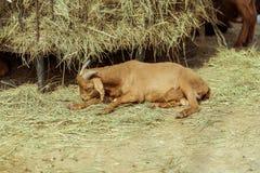 A cabra de encontro fotografia de stock