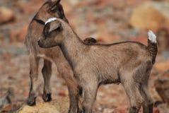 Cabra de equilibrio absolutamente adorable del bebé en una roca Fotografía de archivo libre de regalías